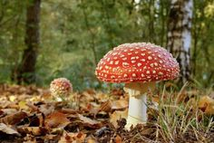 Record your sightings of fly agaric with The Woodland Trust Scotland's Nature's Calendar Project. Scotland Nature, Great Pictures, See Photo, Woodland, Texts, Stuffed Mushrooms, Plants, Albums, Facebook