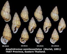 Dr. Lee's Gallery Museum: Amphidromus semitessellatus 22.13 to 30.6mm