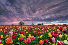 Sunset Over Tulip Field by David Gn, via 500px