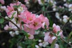 Flowering Quince - Pink.  We love flowering branches.  They are beautiful arranged on their own or mixed into a grand design.  They smell good too!