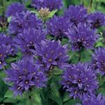 Bellflowers (Campanula) / ATTRACTS: Hummingbirds.  Plant with Coral Bells which attracts Ruby Throated Hummingbirds.  Great for the middle of flower beds.