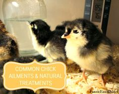 Common Baby Chick Ailments and Natural Treatments