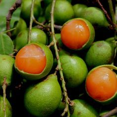 Spanish lime (melicoccus bijugatus), also known as guinep or limoncillo, is a fruit-bearing tree in the soapberry family. The fruit, somewhat like a cross between a lychee and a lime, has a tight and thin, but rigid layer of skin, traditionally opened by biting into it. The tart, tangy, sweet and creamy pulp (technically the seed coat, or aril) is then sucked out. Despite the light colour of the fruit's flesh the juice stains a dark brown colour and is used to dye cloth. Zone 9-11