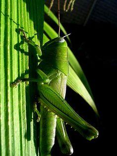 green grasshopper    on palm grass