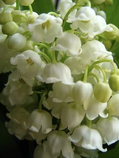Lily of the valley - Lilje konvall - wedding bouquet inspiration Birth Flowers, White Flowers, Beautiful Flowers, Beautiful Beautiful, Valley Flowers, My Secret Garden, Plantation, Lily Of The Valley, Planting Flowers
