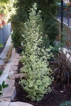 'Tasman Ruffles' begins to obscure the neighbor's roof Pittosporum tenuifolium 'Silver Sheen' is the most common tall Pittos. Landscaping Plants, Outdoor Landscaping, Outdoor Gardens, Landscaping Ideas, Pergola Ideas, Outdoor Ideas, Outdoor Spaces, Garden Edging, Lawn And Garden
