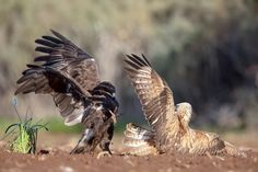 Animal Action, Bald Eagle, Animals, Animales, Animaux, Animal, Animais