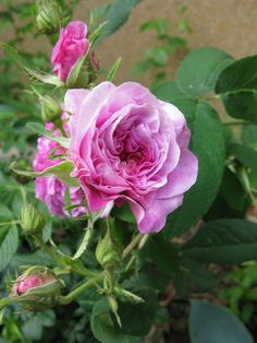 Gallica Rose: Rosa 'Jenny Duval' (France, before 1846)