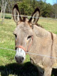 Her Grace is an adoptable Donkey Donkey in Dansville, MI. Except for her most previous owner I don't believe that anyone really cared much about her. How can you just dump a lovely youngster at a flea...