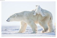 polar bear cubs - Google Search