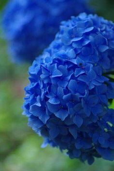 Blue Hydrangea- one of the true blue flowers Hortensia Hydrangea, Hydrangea Flower, My Flower, Hydrangeas, Chrysanthemums, Delphinium, Peony, Beautiful Gardens, Planting Flowers