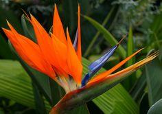 Strelitzia, beauté de la Réunion. #sucrelaperruche