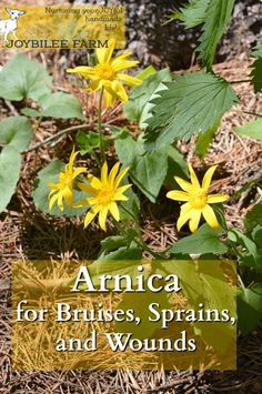 Remedy For Cold Arnica montana is one of the very best herbal remedies for bruises, sprains, and strains. Here's how to identify arnica in the wild and use it for herbal remedies. Holistic Remedies, Natural Home Remedies, Herbal Remedies, Health Remedies, Healing Herbs, Natural Healing, Herbal Medicine, Natural Medicine, Arnica Salve