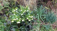 March can be an uncertain month weatherwise in Ireland. This hellebores, aka the Christmas rose, only bloomed to make an appearance in time for Easter 2013.  As you can see the daffodil beside it is shivering but bravely holding its own.
