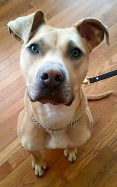 Adopted! Floyd - Pit Bull Terrier mix - Cincinnati, OH. 1 yr old