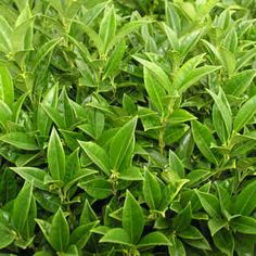 Fragrant Sweetbox. Evergreen shrub.  Full shade. 3-5' tall & wide. It is very dense and well-branched, with glossy deep green foliage that is more narrow than other varieties. This gives it a finer texture and even more full, lush look.  The shrub is attractive year-round simply because of its foliage.