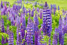 Lupines on Munjoy Hill in Portland. June 6, 2015.