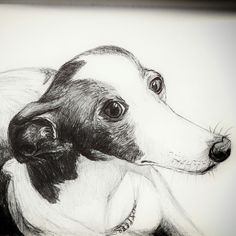Pen portrait of a greyhound. Adopt a saved greyhound. Check it out on www.