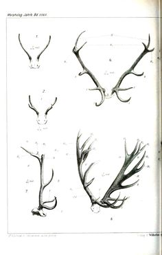 reindeer typography | Animal – Deer – Antlers, comparative anatomy 1 | Vintage Printable ...