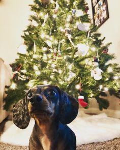 Christmas Dachshund, Beautiful Christmas, Dogs, Animals, Animales, Animaux, Doggies, Animal, Animais