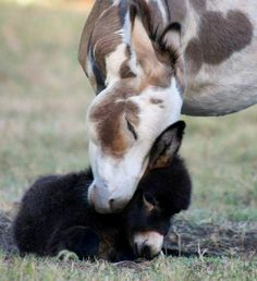 I know they're not horses but.♥ - Verena W. - I know they're not horses but.♥ I know they're not horses but. Cute Baby Animals, Farm Animals, Animals And Pets, Funny Animals, Mother And Baby Animals, Wild Animals, Baby Donkey, Cute Donkey, Mini Donkey