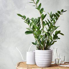 Zamioculcas zamifolia (Zamiakalla eller Garderobsblomma på svenska)