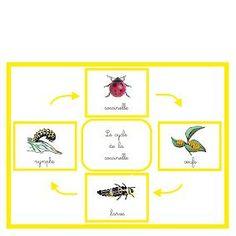 Le cycle de la coccinelle | Boutique ''documents Montessori'' Montessori Education, Montessori Toddler, Science Experience, Explorer, Cycle, Preschool Kindergarten, Science For Kids, Reggio, Childhood