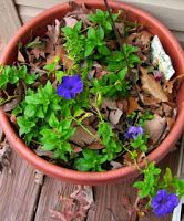 Petunias in December - The Nature In Us Newsletter - 12/15/15