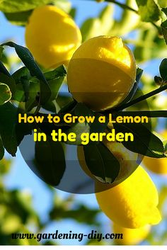 Lemons are the most sensitive to cold than all other citrus trees. Due to this cold sensitivity, lemon trees in garn should be planted near the south side.