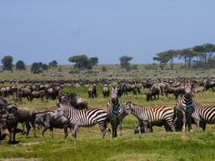 Wilderbeest-at-Serengeti