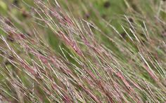 Grass-shi - little bluestem.  Very interesting grass.  Very delicate narrow blades.