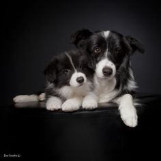 cute border collies