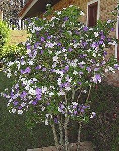 Brunfelsia uniflora (Manacá-de-cheiro)