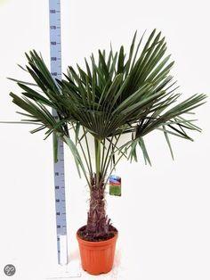 Winterharde palmboom Trachycarpus Fortunei palmboom - Hoogte: 140cm -