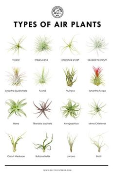 Types Of Air Plants, Air Plants Care, Types Of Succulents, Cacti And Succulents, Planting Succulents, Garden Plants, Planting Flowers, What Are Air Plants, Caring For Air Plants
