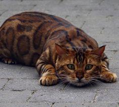 Gato-de-bengala com ''pelo perfeito'' vira sensação nas redes sociais