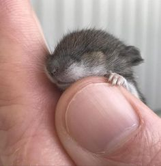 Baby squirrel Because. Cute Creatures, Beautiful Creatures, Animals Beautiful, Cute Squirrel, Baby Squirrel, Squirrels, Animals And Pets, Funny Animals, Hamsters