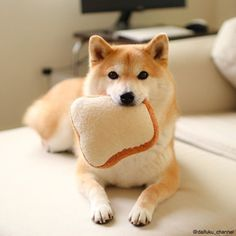Ickle shiba with bread Shiba Inu, Animals And Pets, Baby Animals, Cute Puppies, Dogs And Puppies, Pet Dogs, Dog Cat, Inu Yasha, Japanese Dogs
