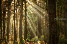 Title:Forest Sunlight; Artist Name:Mike DeCesare; Description:Sunlight streams through a Pacific Northwest fores...; Art Form:Photography; Style:Photorealism; Media:Photography: Photographic Print; Genre:Landscape