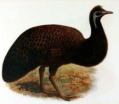 King Island emu - Wikipedia