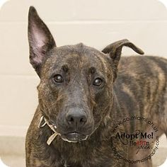 URGENT!  I am at a kill shelter in Troy, OH - Pit Bull Terrier Mix. Meet Venus, a dog for adoption. http://www.adoptapet.com/pet/11184254-troy-ohio-pit-bull-terrier-mix