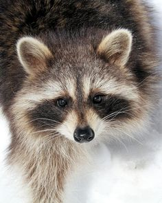 Bright Eyes by Doris Potter, racoon