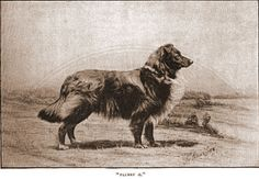 Highlands Collie - Buscar con Google