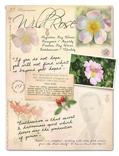 Wild Rose Bach Flower Remedy for resigned, apathetic, bored - Creature Comforters®