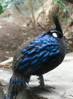 Some blue and black color birdy. by KLnyc on Flickr.