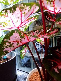 Esittelyssä Caladium Pink beauty Bauhaus, Plants, Pink, Beauty, Beleza, Flora, Cosmetology, Plant, Pink Hair