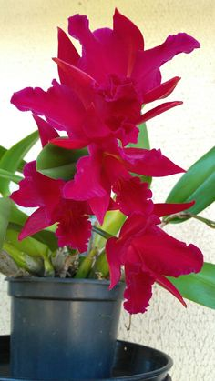 Orquídea #plantasdecorativas