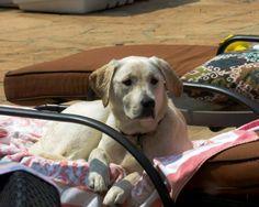 #labrador #dogs