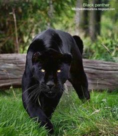 Anshi national park is the only wildlife park where the Black Panther is found.
