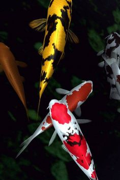 A collection of colors koi fish